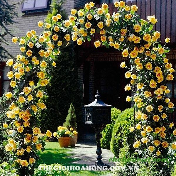 Hoa hồng leo làm cổng