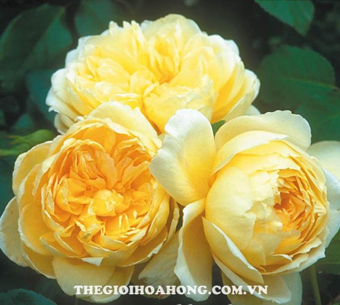 Giống hoa hồng leo màu vàng nhạt