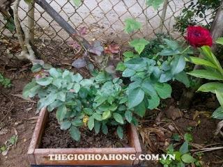 Bệnh đồi mồi được trị tận gốc cây hoa hồng sẽ phát triển bình thường