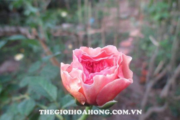 Học cách chăm sóc Hoa hồng leo Abraham Darby đúng (1)