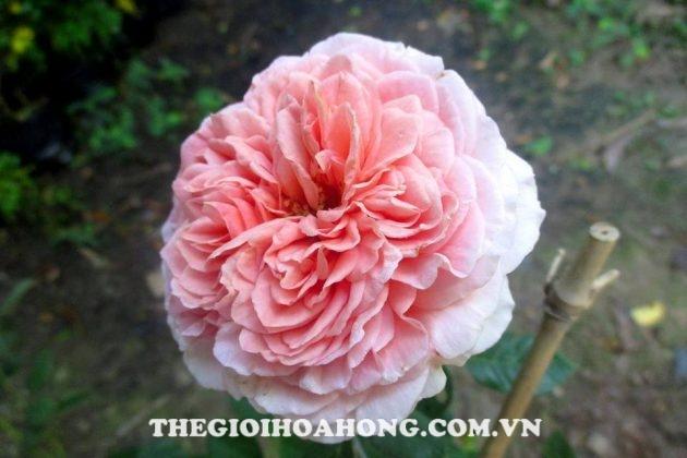 Học cách chăm sóc Hoa hồng leo Abraham Darby đúng (2)