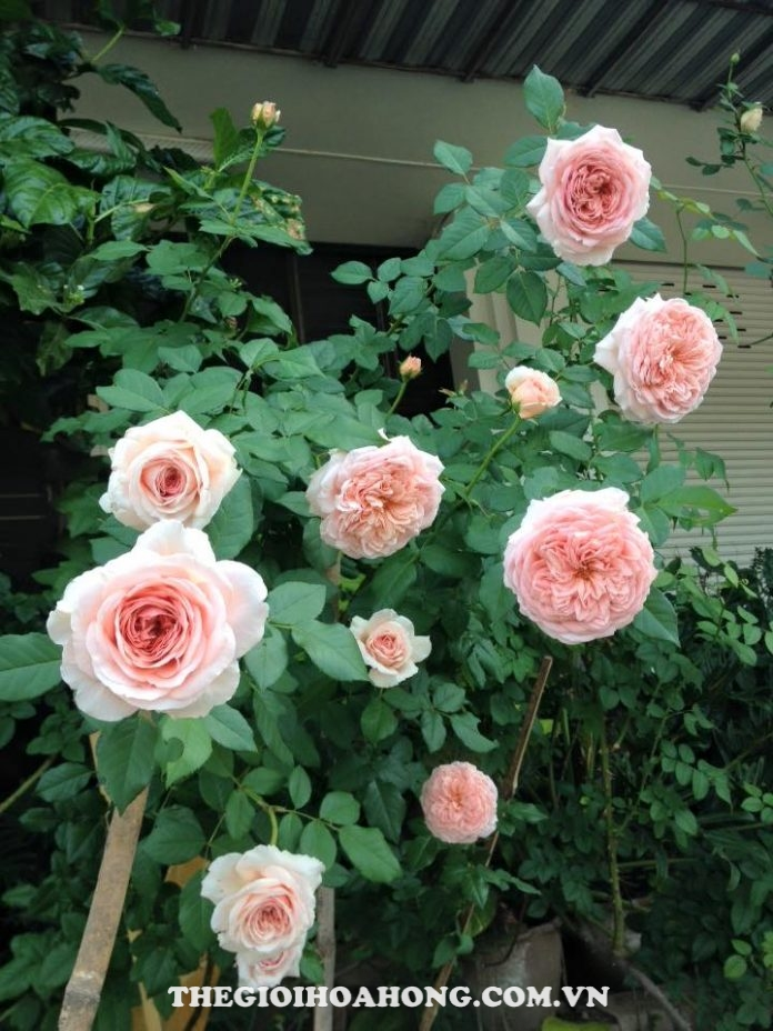 Học cách chăm sóc Hoa hồng leo Abraham Darby đúng (3)