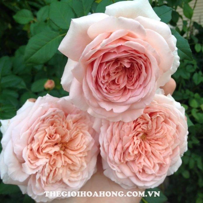 Học cách chăm sóc Hoa hồng leo Abraham Darby đúng (4)