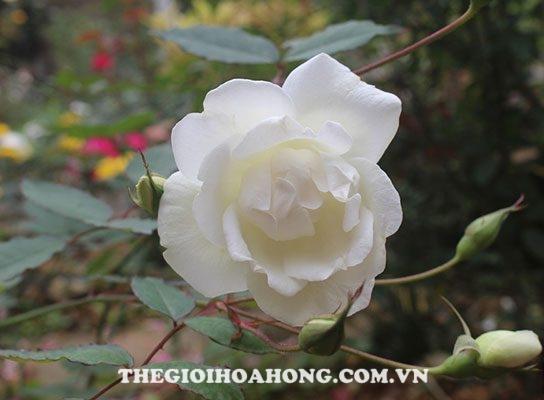 Hồng bạch Nam Định (1)