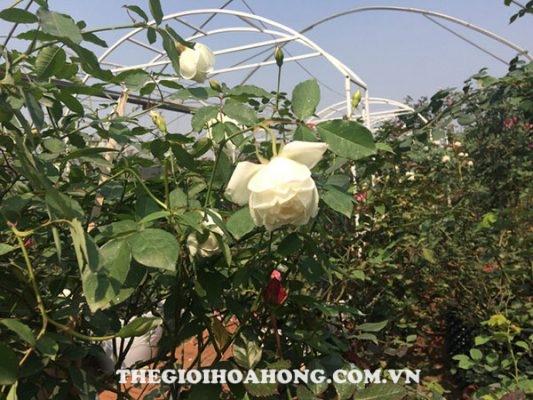 Hồng bạch Nam Định (3)