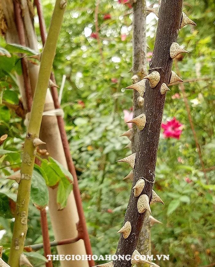 Cây hoa hồng bị chết khô cành