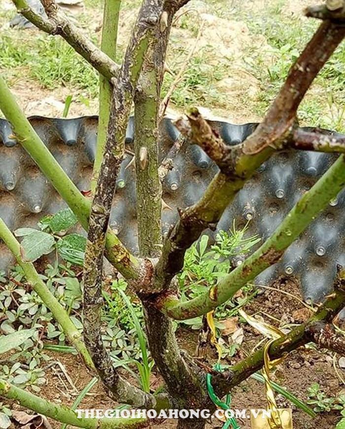 Hồng trồng trong chậu  đang có hiện tượng chết cành