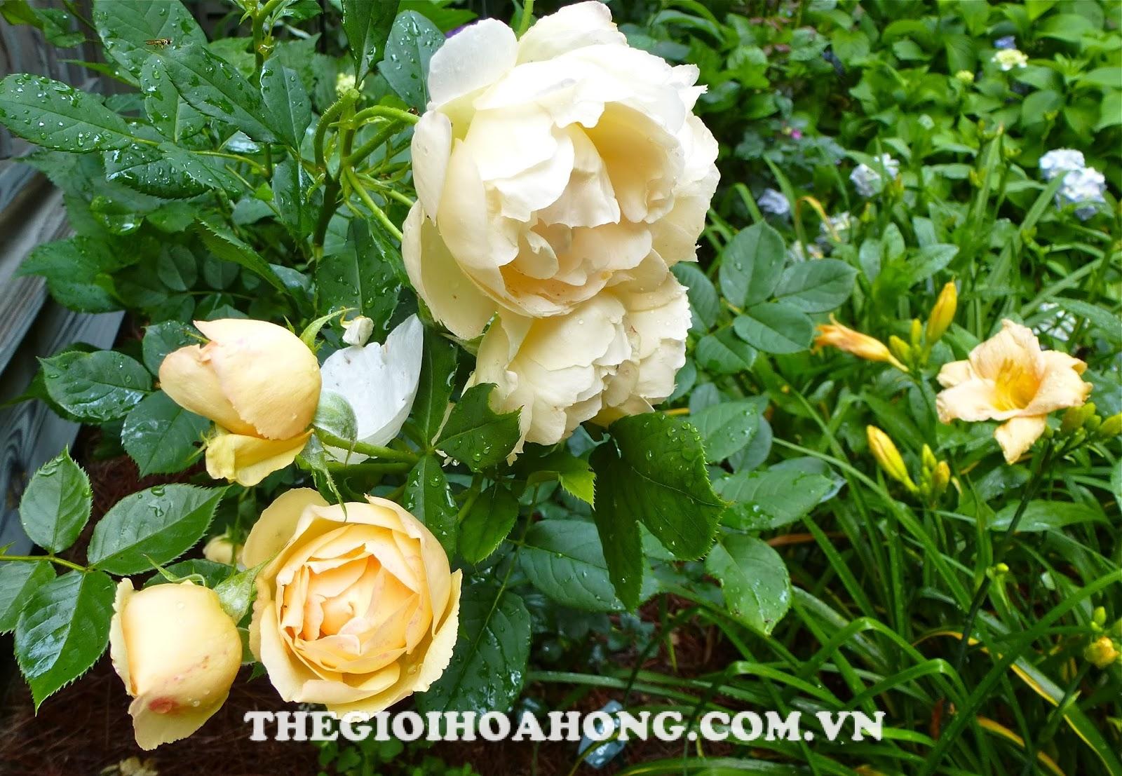 Màu sắc hoa hồng leo Wollerton Old Hall Rose rất đẹp
