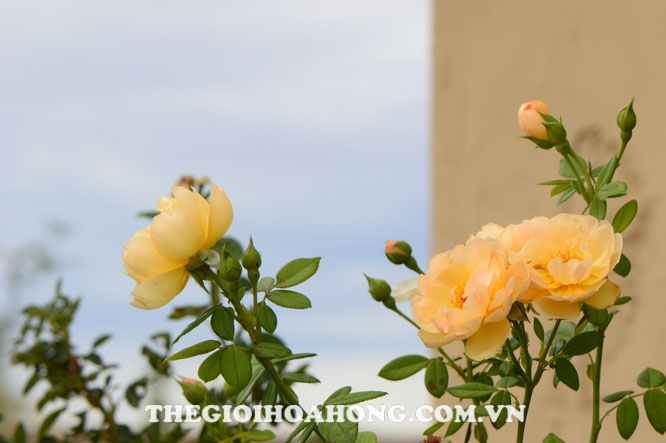 Hồng leo Wollerton Old Hall Rose thích hợp trồng xung quanh nhà