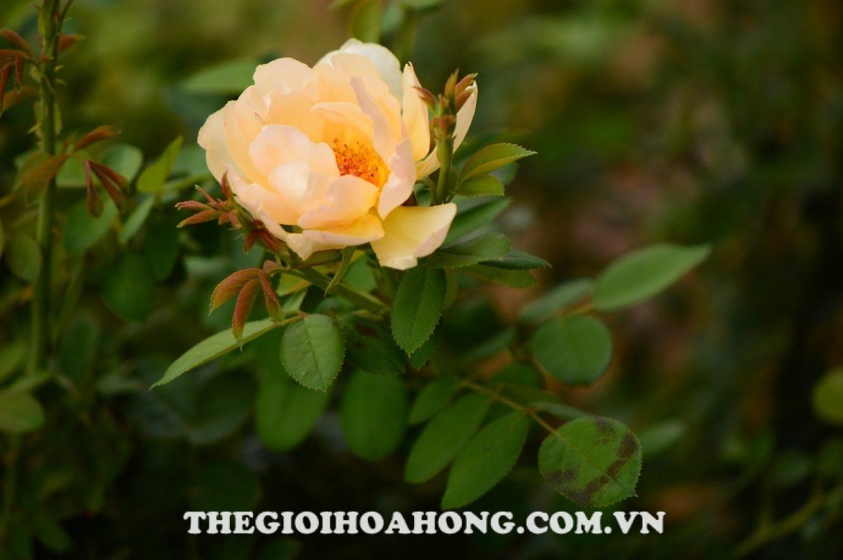 Hồng leo Wollerton Old Hall Rose trang trí sân vườn