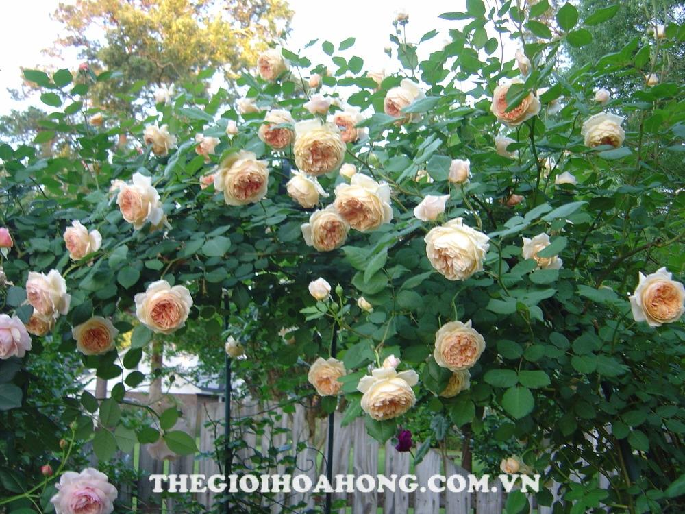 Hồng leo Wollerton Old Hall Rose có tốc độ phát triển chiều cao nhanh