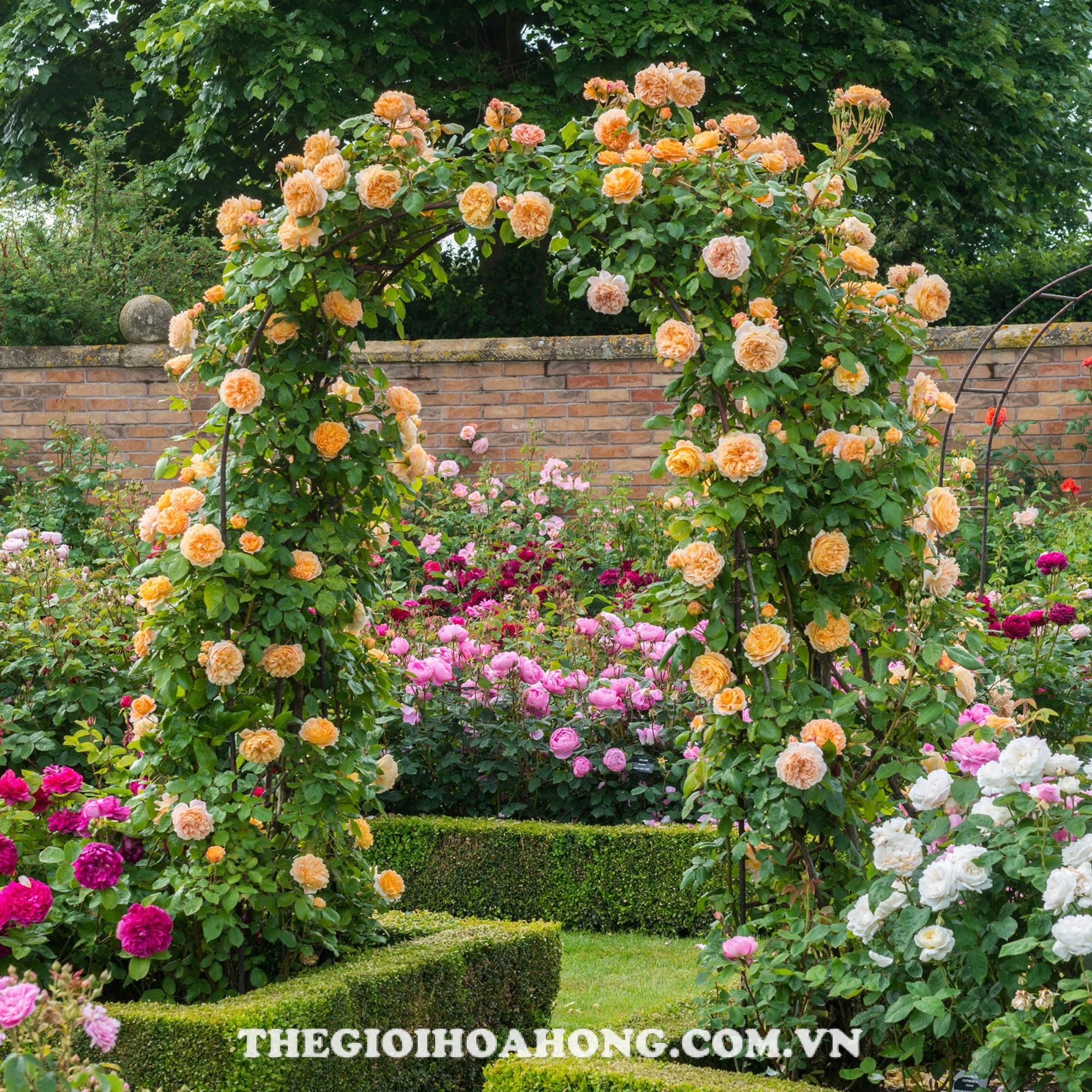 Thân cây hồng leo Wollerton Old Hall Rose cứng cáp