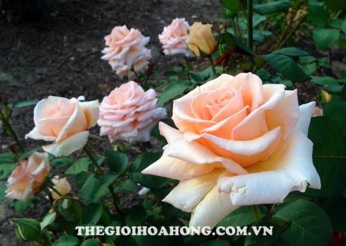 Cánh hồng leo Wollerton Old Hall Rose màu vàng hột gà