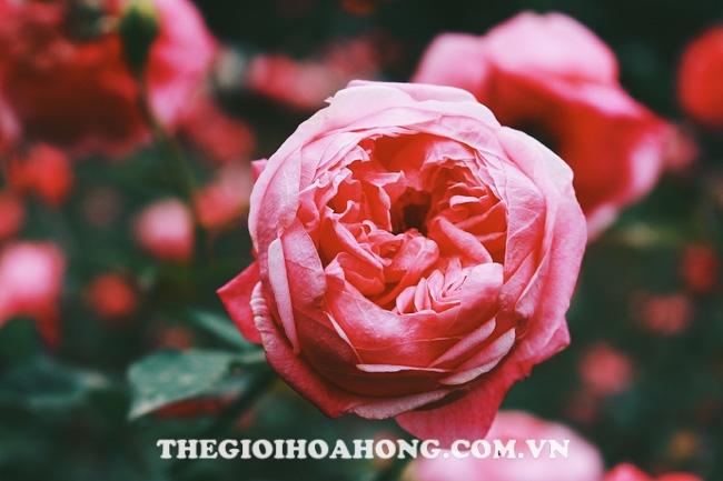 Hoa hồng nở đẹp khi diệt được sâu ăn lá