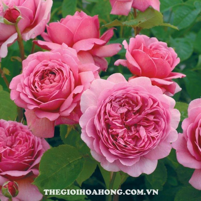 Hướng dẫn cách chăm sóc hoa hồng Alexandra of Kent (1)