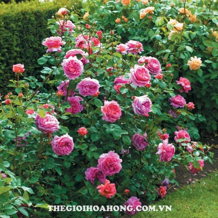 Hướng dẫn cách chăm sóc hoa hồng Alexandra of Kent (2)