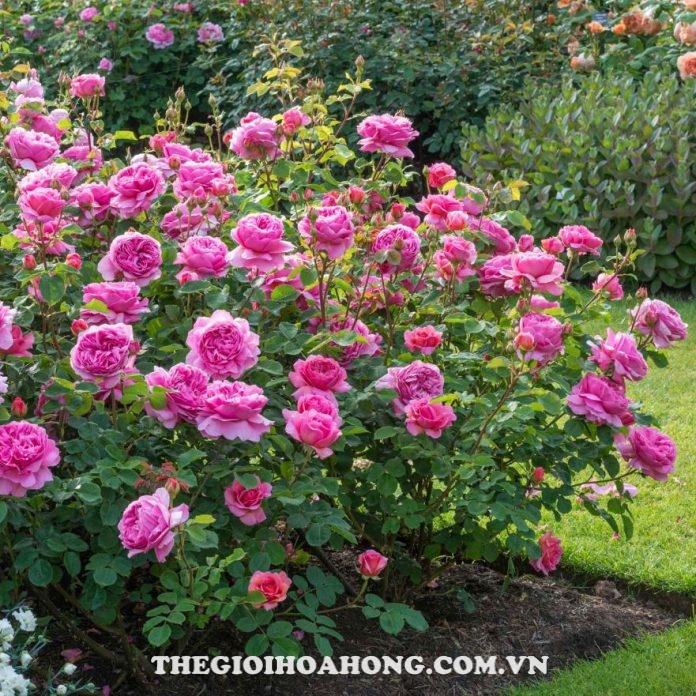 Hướng dẫn cách chăm sóc hoa hồng Alexandra of Kent (3)