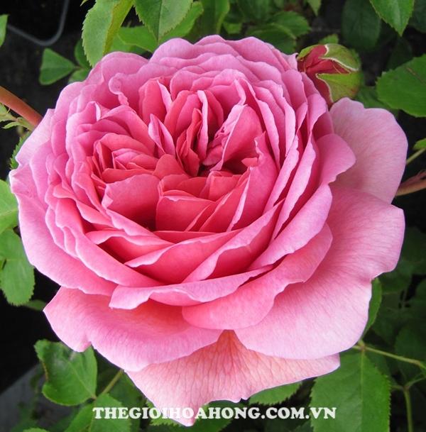 Hướng dẫn cách chăm sóc hoa hồng Alexandra of Kent (4)