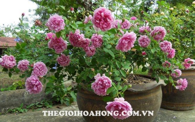 Hướng dẫn cách chăm sóc Hoa hồng Bishop Castle (1)