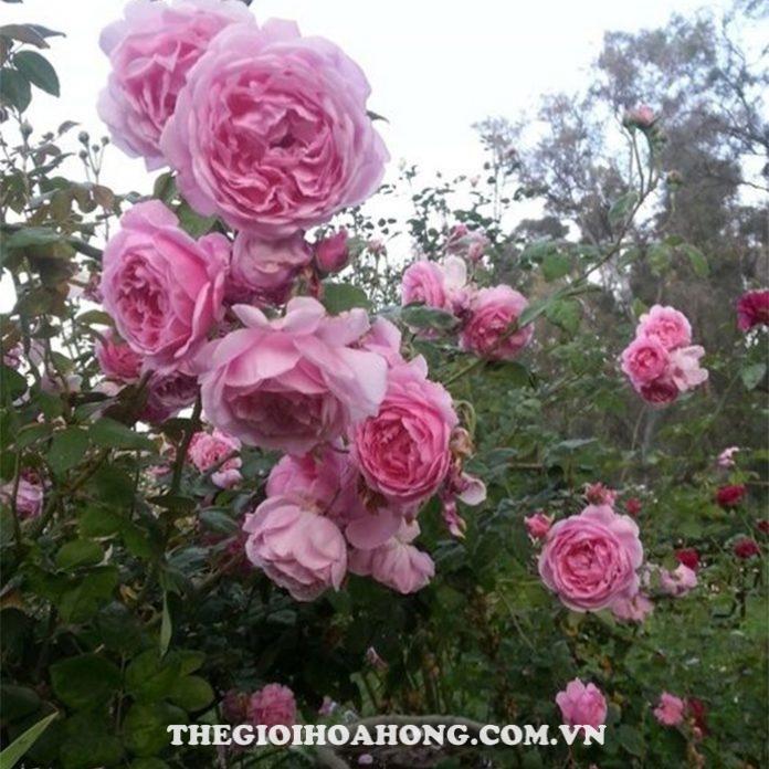 Hướng dẫn cách chăm sóc Hoa hồng Bishop Castle (2)