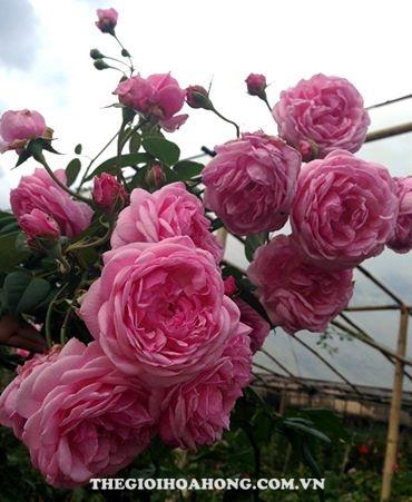 Hướng dẫn cách chăm sóc Hoa hồng Bishop Castle (4)