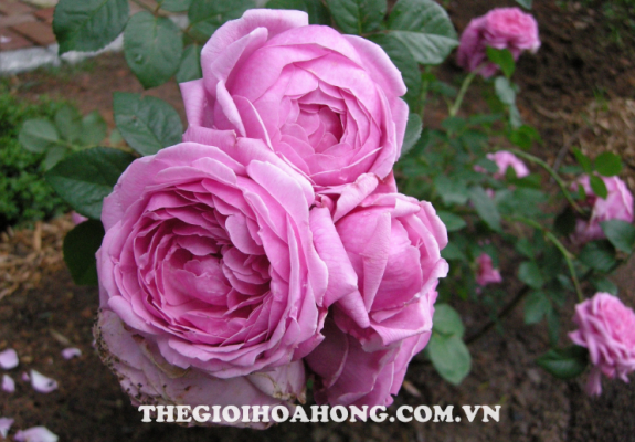 Hướng dẫn cách trồng cây hoa hồng leo tại nhà (1)