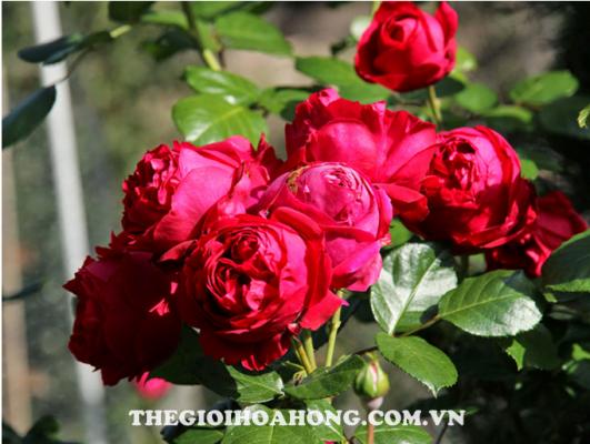 Hướng dẫn cách trồng cây hoa hồng leo tại nhà (2)