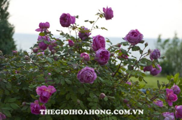 Hướng dẫn cách trồng cây hoa hồng leo tại nhà (3)
