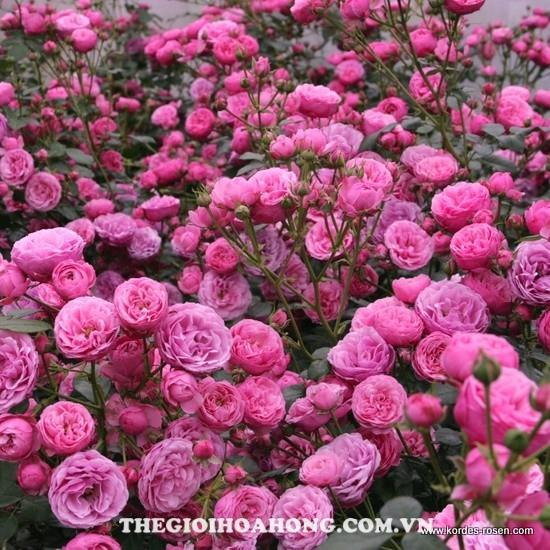Hướng dẫn chi tiết cách chăm sóc Hoa hồng leo Baronesse 91)