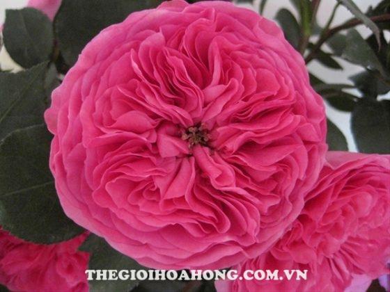 Hướng dẫn chi tiết cách chăm sóc Hoa hồng leo Baronesse 92)
