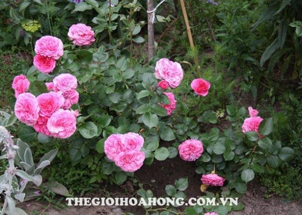 Hướng dẫn chi tiết cách chăm sóc Hoa hồng leo Baronesse (3)