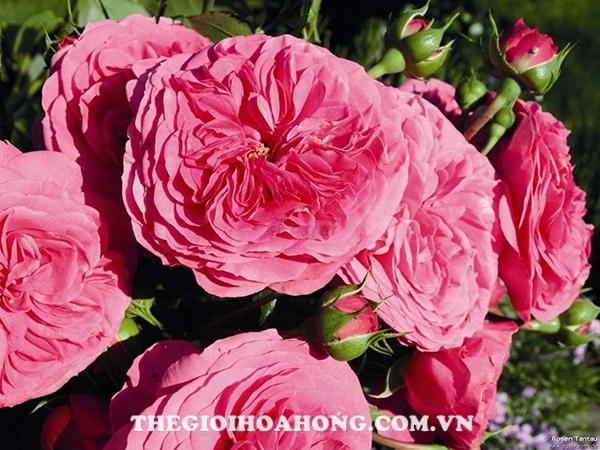 Hướng dẫn chi tiết cách chăm sóc Hoa hồng leo Baronesse (4)
