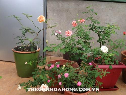 Hướng dẫn chi tiết kỹ thuật trồng hoa hồng leo (1)