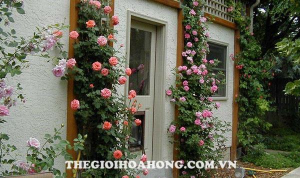 Hướng dẫn chi tiết kỹ thuật trồng hoa hồng leo (4)