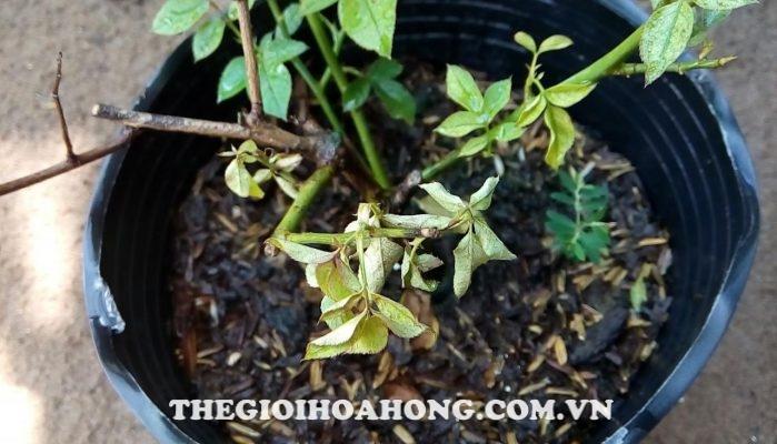 Hướng dẫn xử lý và chăm sóc khi cây hồng bị úa, khô, héo lá (1)