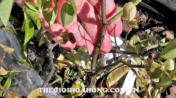 Hướng dẫn xử lý và chăm sóc khi cây hồng bị úa, khô, héo lá (2)