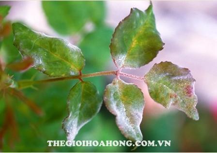 Hướng dẫn xử lý và chăm sóc khi cây hồng bị úa, khô, héo lá (3)