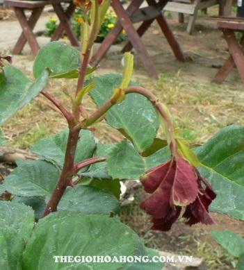 Hướng dẫn xử lý và chăm sóc khi cây hồng bị úa, khô, héo lá (4)