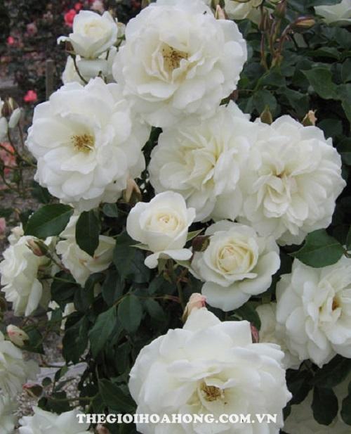 Hoa hồng Tree Rose Iceberg