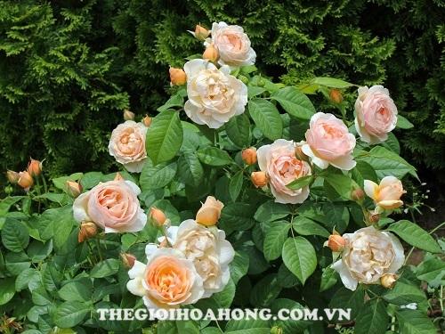 Hoa hồng tree rose juliet