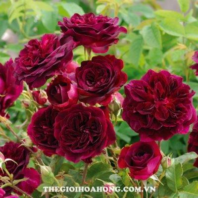 khom-hoa-hong-tree-rose-munstead-wood