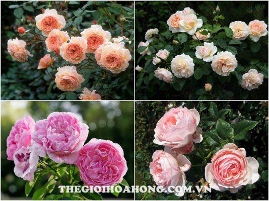 Kinh nghiệm tìm nơi bán hoa hồng leo uy tín bạn nên biết (1)