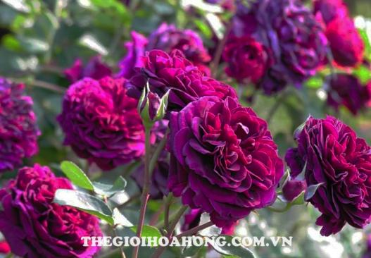Kinh nghiệm tìm nơi bán hoa hồng leo uy tín bạn nên biết (2)