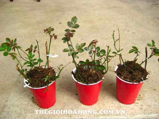 Kinh nghiệm trồng hoa hồng leo cho hoa quanh năm ai cũng muốn biết (1)