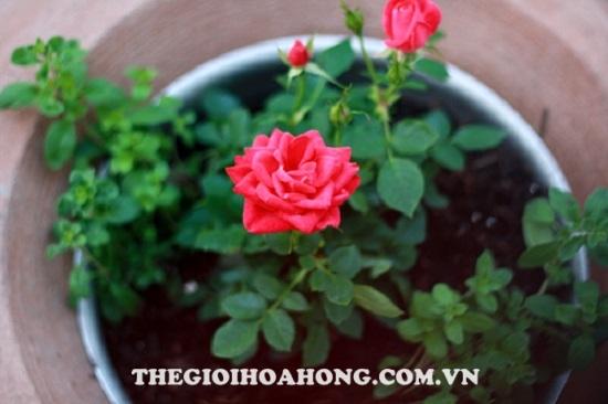 Kinh nghiệm trồng hoa hồng leo cho hoa quanh năm ai cũng muốn biết (3)