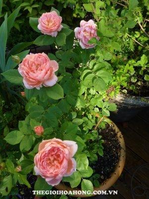 Kinh nghiệm trồng hoa hồng leo cho hoa quanh năm ai cũng muốn biết (4)