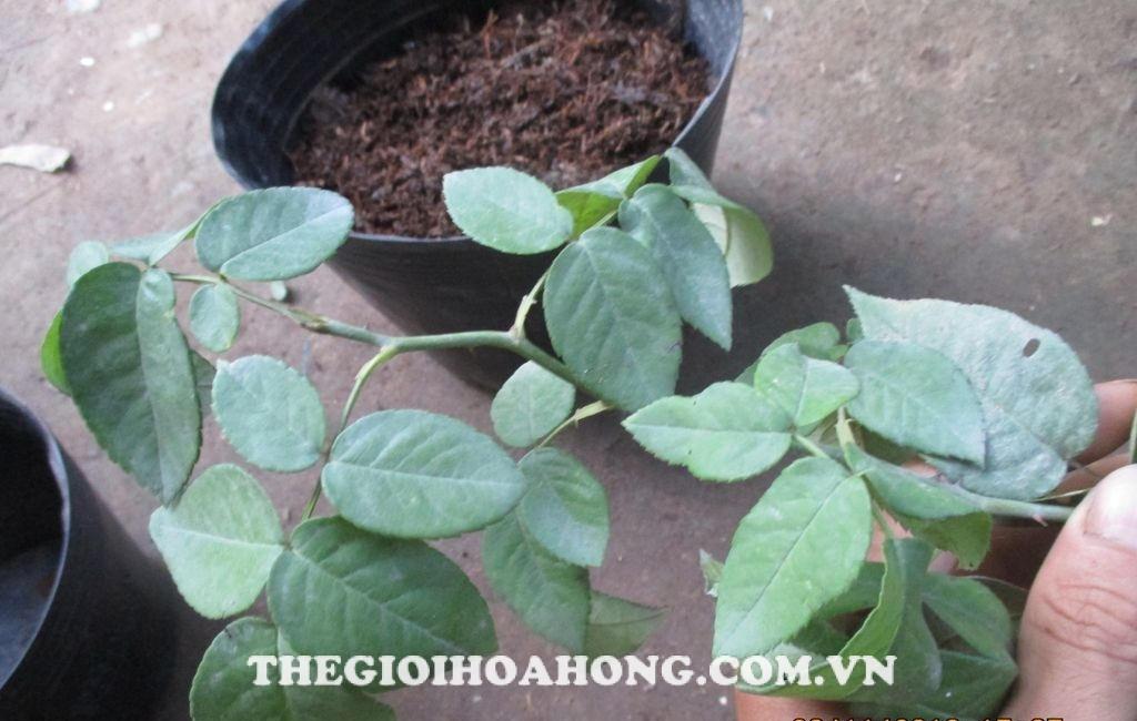 Làm gì khi cây hồng bị vàng lá do hết phân? (2)