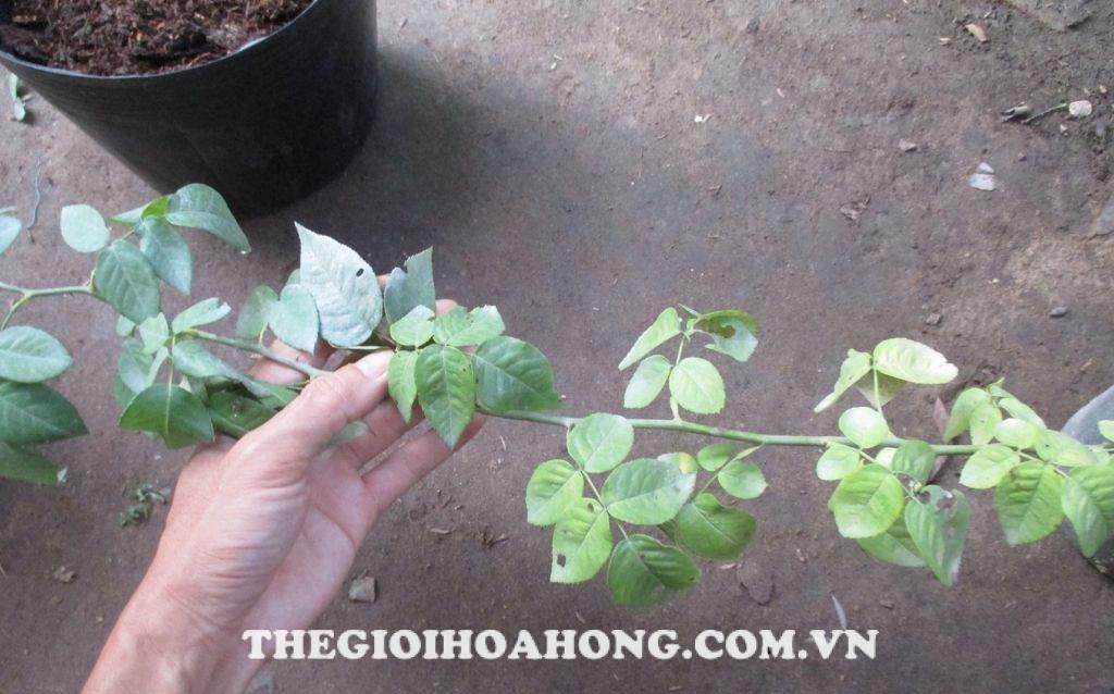 Làm gì khi cây hồng bị vàng lá do hết phân? (3)