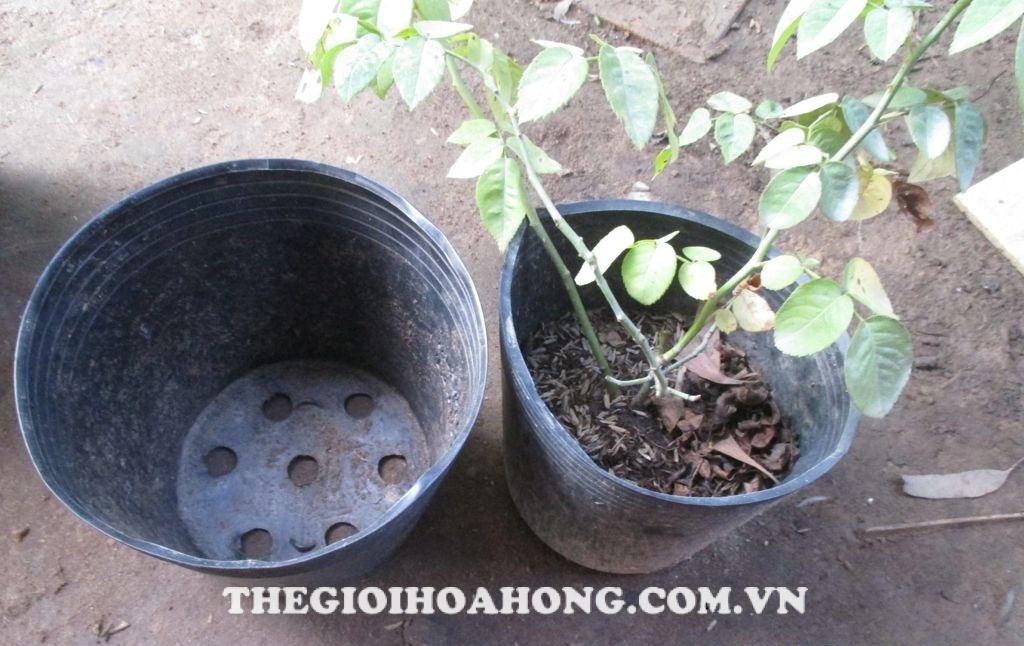Làm gì khi cây hồng bị vàng lá do hết phân? (4)