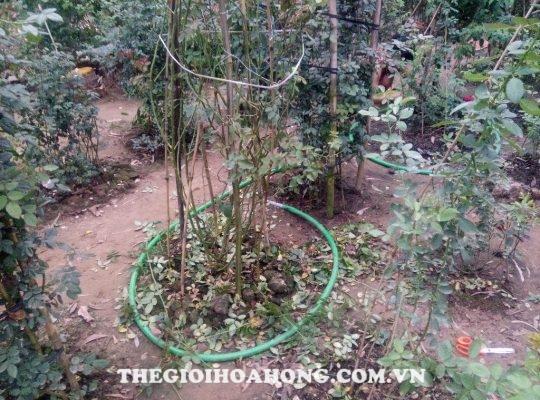 Làm vệ sinh vườn hồng trước khi phun thuốc trừ nấm bệnh (1)